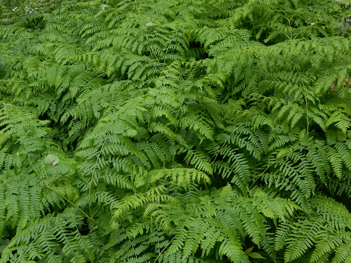 Ferns, Steamboat Springs, Colorado